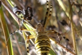 Mezi suchými stébly v trávě si upletl pavučinu křižák pruhovaný (Arqiorpe bruennichi).