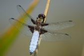 V ČR hojná vážka ploská (Libellula depressa) má modrý jakoby ojíněný zadeček.