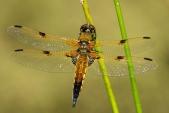 U vážky čtyřskvrnné (Libellula quadrimaculata) nese každý pár křídel celkem čtyři skvrny, jak napovídá název.