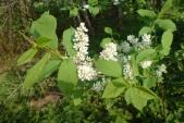 Střemcha obecná (Prunus padus) je strom, případně keř, s dlouhými hrozny bílých květů. Od českého názvu je pravděpodobně odvozeno i jméno, které nese hned několik obcí v ČR – Třemešná.