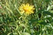 Oman vrbolistý (Inula salicina) patří k vzácnějším hvězdnicovitým rostlinám (do této skupiny patří také mnohem známější kopretiny a pcháče).