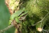 Rosnička obecná ve svém přirozeném prostředí - na stromě