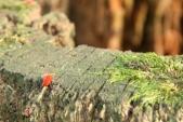 Sametka červená (nebo podzimní). Docela nepříjemný roztoč vyfocen v Džungli
