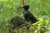 Datel černý (Dryocopus martius) hledá v pařezu něco k snědku.