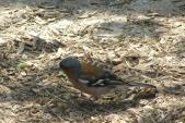 Zpěvný pták s nápadným a známým zpěvem je pěnkava obecná (Fringilla coelebs).