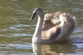 Mladý jedinec labutě velké (Cygnus olor).