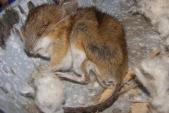 Na zimu se do budov stěhuje i myšice lesní (Apodemus flavicollis) díky čemuž často končí otrávené nastraženým jedovatým zrním.