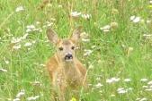 Zvědavá pravděpodobně samička srnce obecného (Capreolus capreolus) na lesní mýtině.