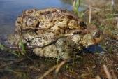 Párek ropuch obecných (Bufo bufo) při rozmnožování v tzv. amplexu, kdy se samec drží na zádech většinou větší samice.